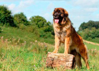 perro-Leonberger-sobre-un-tronco