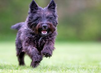perro-cairn-terrier-corriendo
