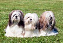 tres-perros-Lhasa-apso-posando-sobre-el-cesped