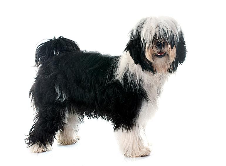 Terrier-Tibetano-de-perfil