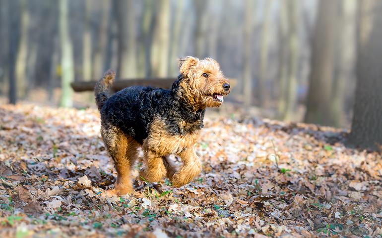 airedale-terrier-en-el-bosque