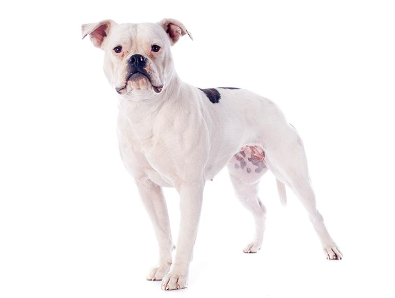 bulldog-americando-de-cuerpo-completo