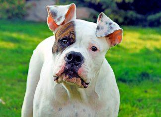 bulldog-americando-mirando-de-frente