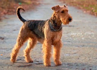 fisico-de-un-Airedale-Terrier