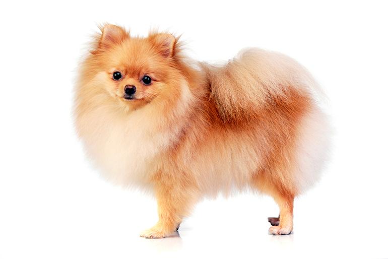 perfil-de-un-perro-Pomerania