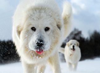 perro-Montaña-de-los-Pirineos-corriendo-en-la-nieve