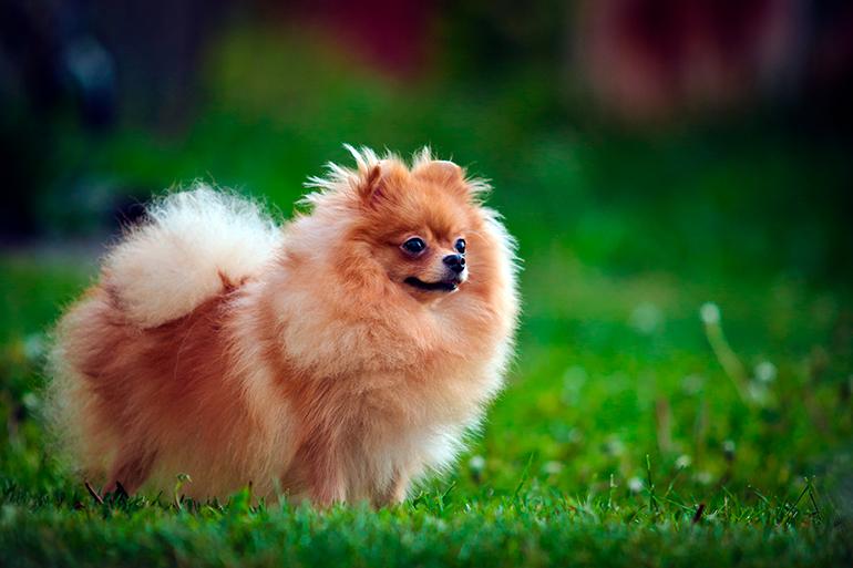 perro-Pomerania-sopbre-el-cesped