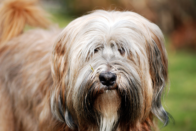 perro-Terrier-Tibetano-de-frente