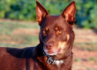 perro-de-raza-Kelpie-australiano