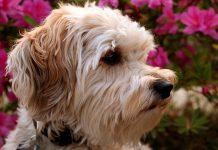 perro-de-raza-Schnoodle