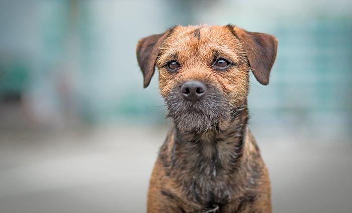 perro-de-raza-border-terrier