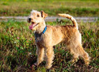 Lakeland-Terrier-sobre-el-cesped