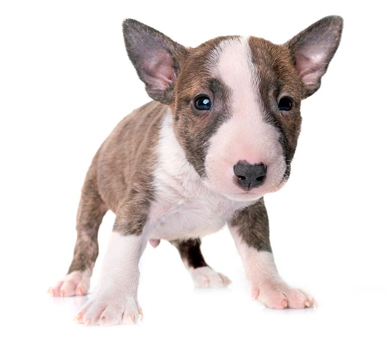 cachorro-de-perro-bull-terrier