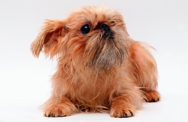cachorro-de-perro-grifón-belga