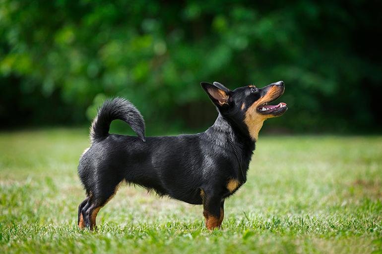 características-del-perro-Lancashire-Heeler