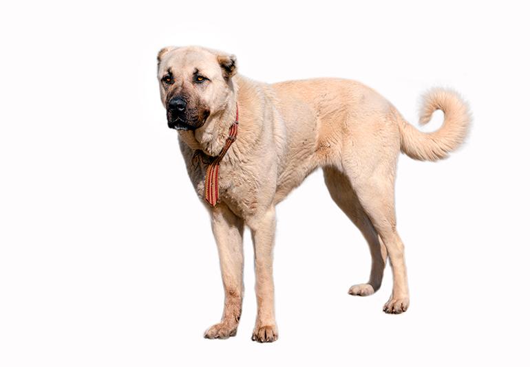 características-físicas-de-un-perro-kangal