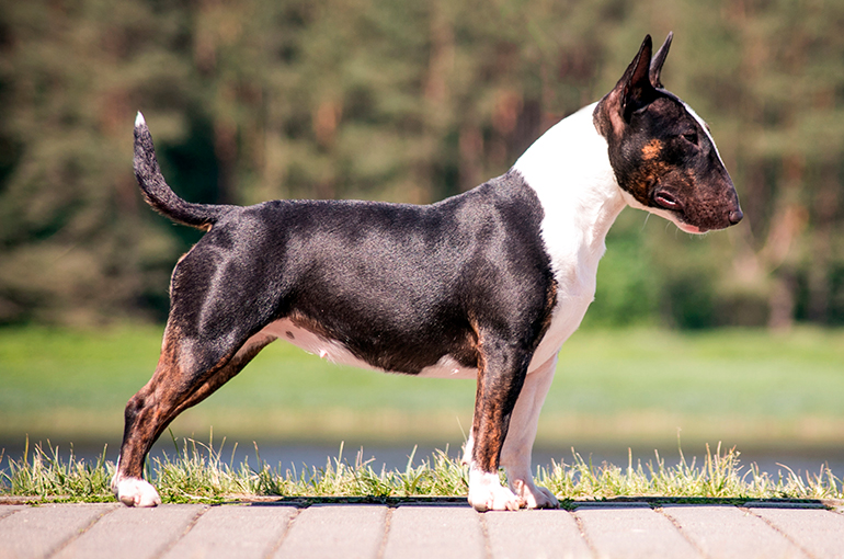 características-físicas-del-bull-terrier