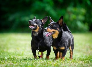 pareja-de-perros-Lancashire-Heeler