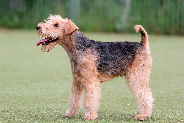 perfil-del-Lakeland-Terrier