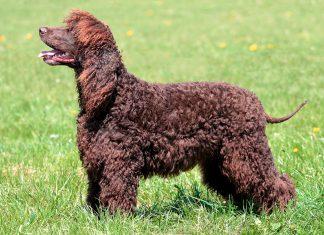 perro-de-agua-irlandés