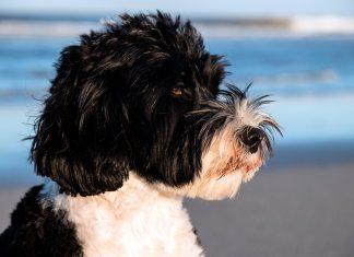 perro-de-agua-portugués-en-la-playa
