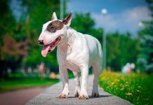 perro-de-raza-bull-terrier-paseando