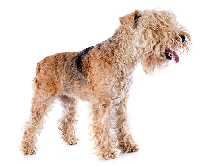 raza-Lakeland-Terrier