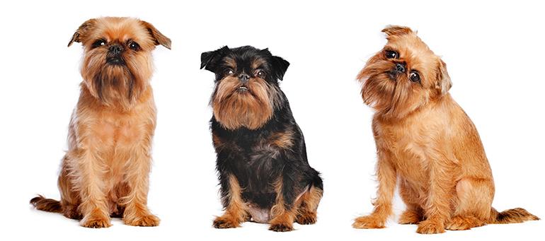tres-ejemplares-de-perro-grifón-belga