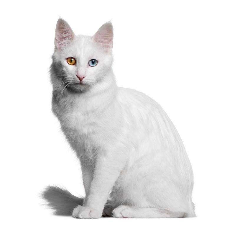 Angora-turco-de-perfil