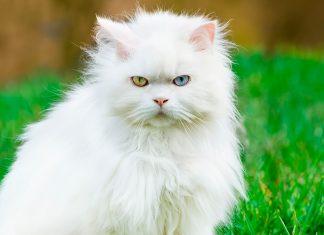 Angora-turco-enfadado