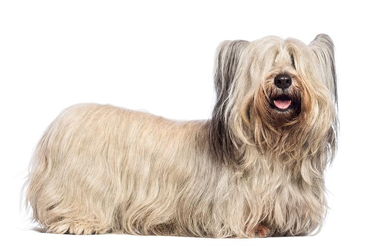 Físico-de-un-perro-Skye-Terrier