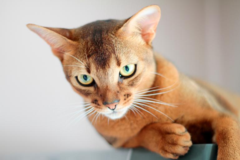 Gato-Abisinio-buscando-una-presa