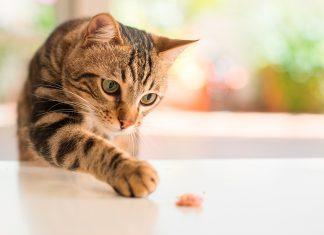 Gato-bengalí-jugando