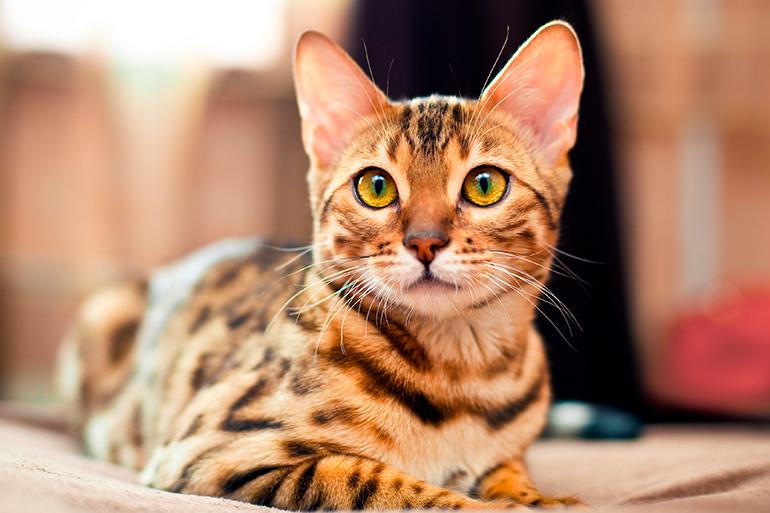 Gato-bengalí-tumbado