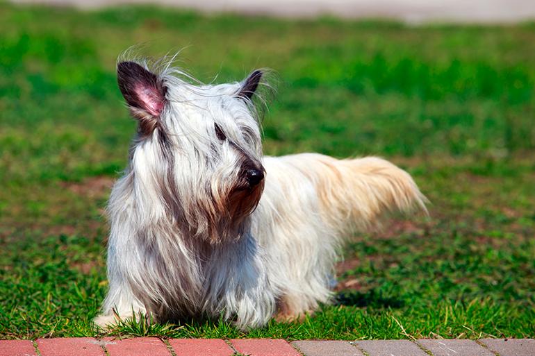 Skye-Terrier-en-el-jardín