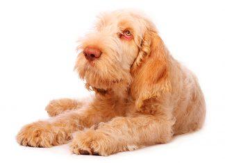 Spinone-Italiano-perro
