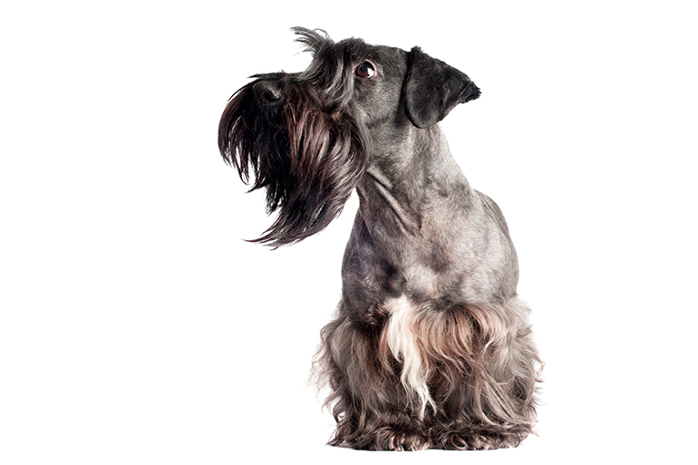 Terrier-Checo-de-frente