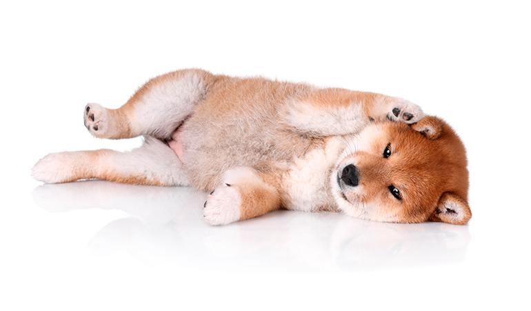 cachorro-de-Shiba-Inu