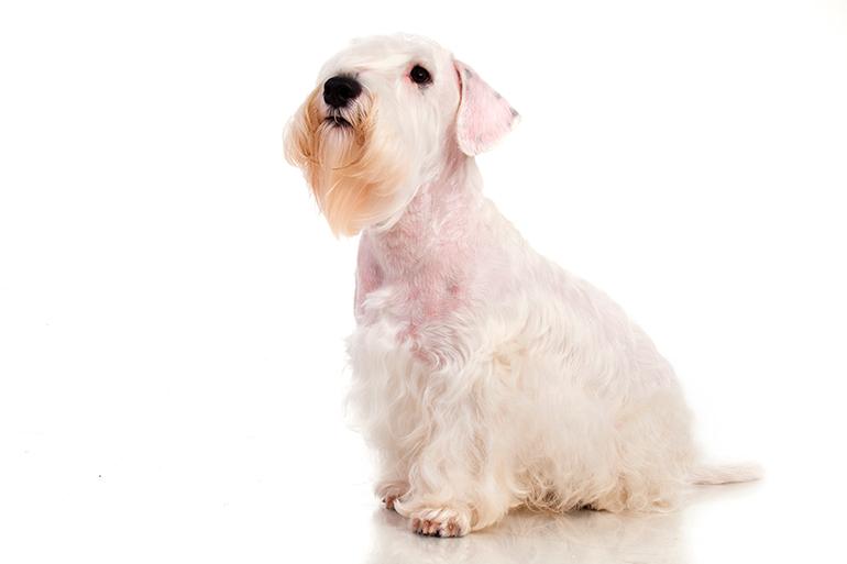 características-del-Sealyham-Terrier