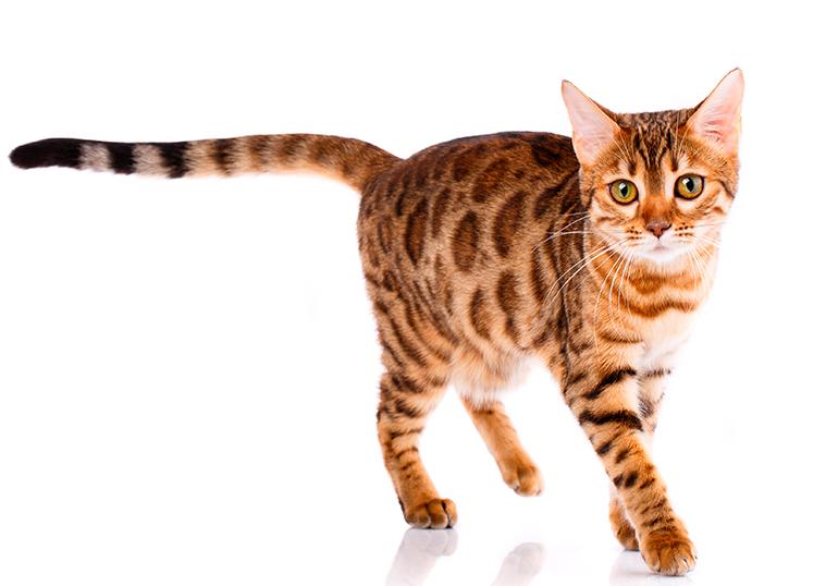carcterísticas-del-gato-bengalí