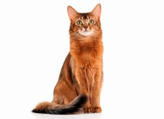 cualidades-del-gato--Somalí