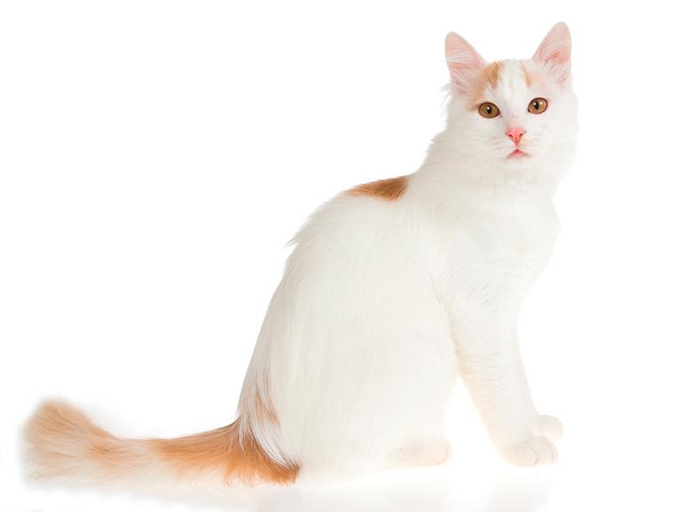 físico-del-gato-Van-turco