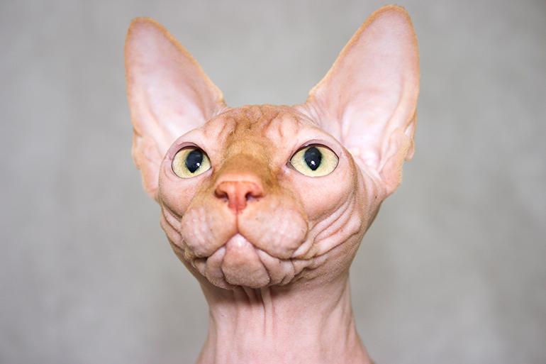 gato-Sphynx-mirando-fijamente