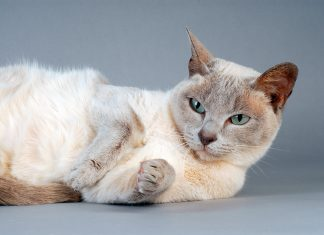 gato-Tonkinese-tumbado