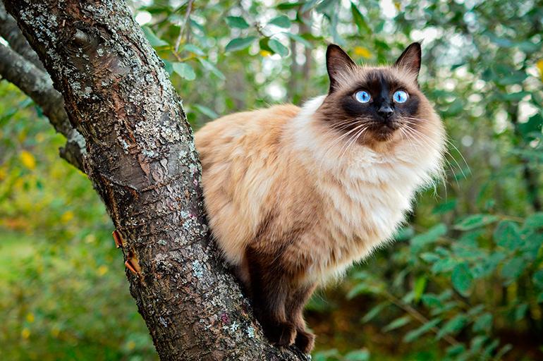 gato-balinés-en-un-arbol
