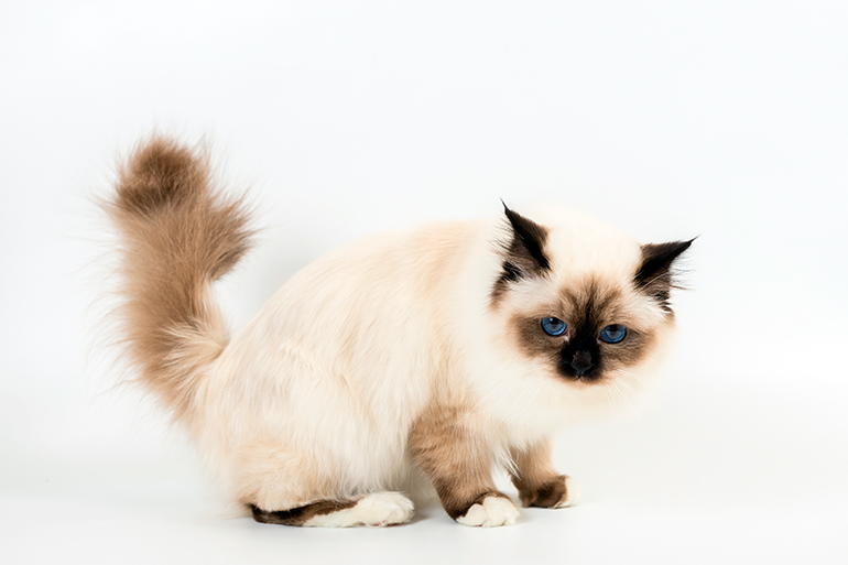 gato-birmano-a-medio-lado