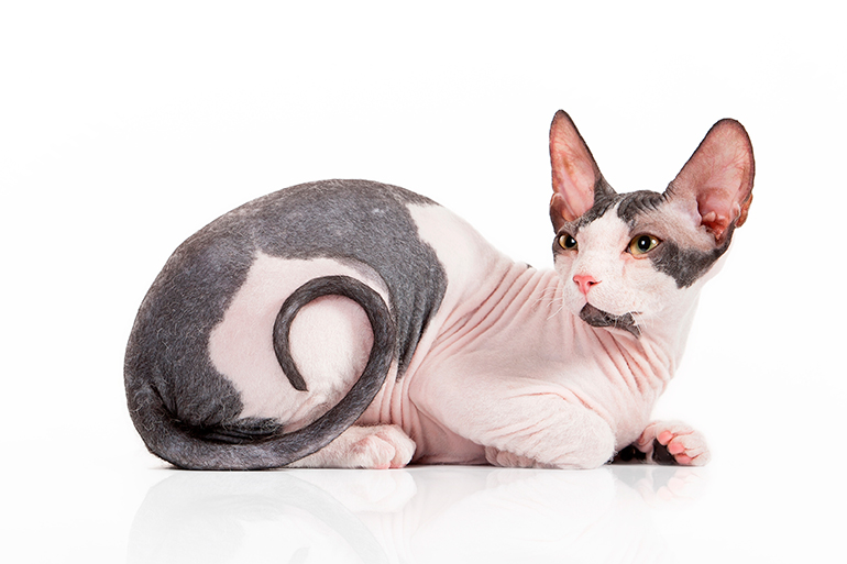 gato-de-raza-Sphynx-tumbado