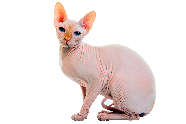 gato-sin-pelo-Sphynx