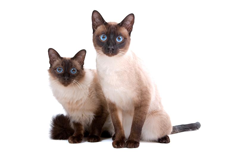 pareja-de-mininos-balineses