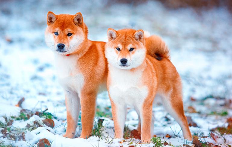 pareja-de-perros-Shiba-Inu
